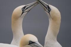 Gannet Courtship - Bempton