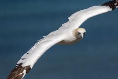 Gannet Flying - Bempton