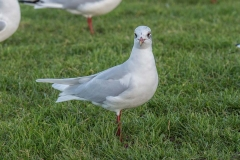 Mediterranean Gull - Scarborough