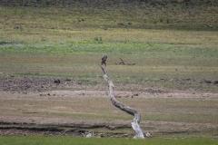 Osprey - Derwent Reservoir