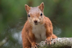 Red Squirrel - Pow Hill